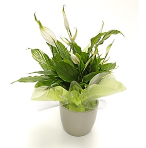 Luxurious Mixed Roses Peace Lily Pot Plant